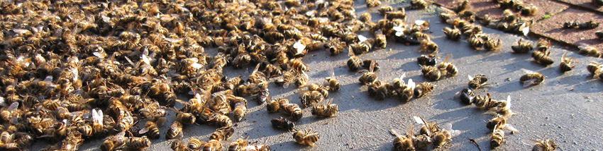 disparition des abeilles