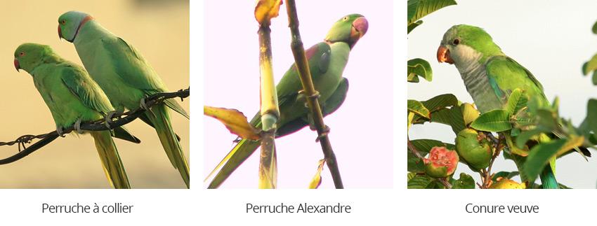 perruche à collier, perruche Alexnadre, conure veuve